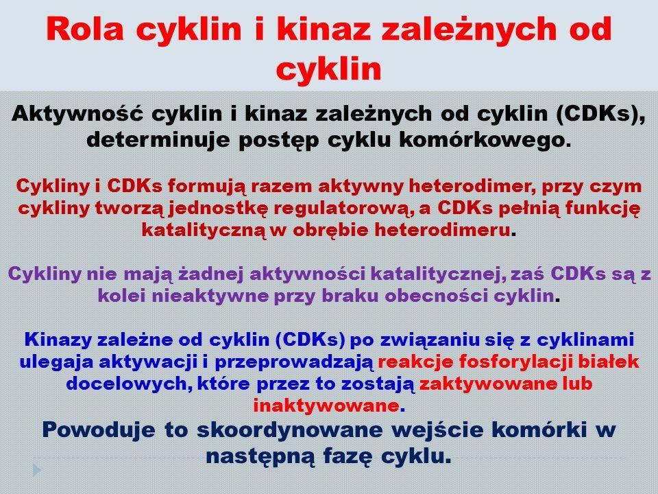 Rola cyklin i kinaz zależnych od cyklin Aktywność cyklin i kinaz zależnych od cyklin (CDKs), determinuje postęp cyklu komórkowego. Cykliny i CDKs form