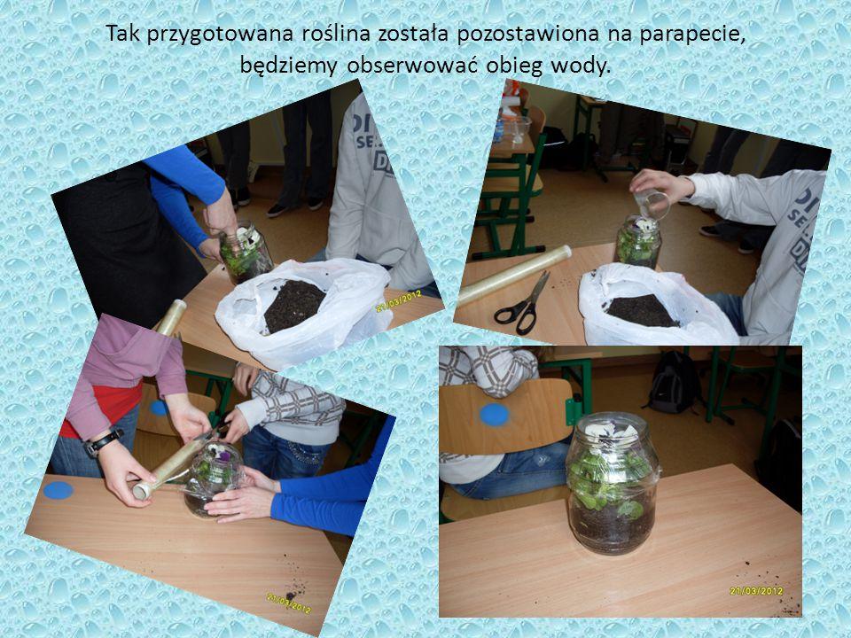 Tak przygotowana roślina została pozostawiona na parapecie, będziemy obserwować obieg wody.