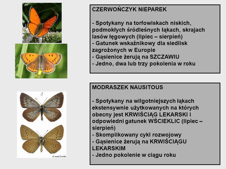 CZERWOŃCZYK NIEPAREK - Spotykany na torfowiskach niskich, podmokłych śródleśnych łąkach, skrajach lasów łęgowych (lipiec – sierpień) - Gatunek wskaźni