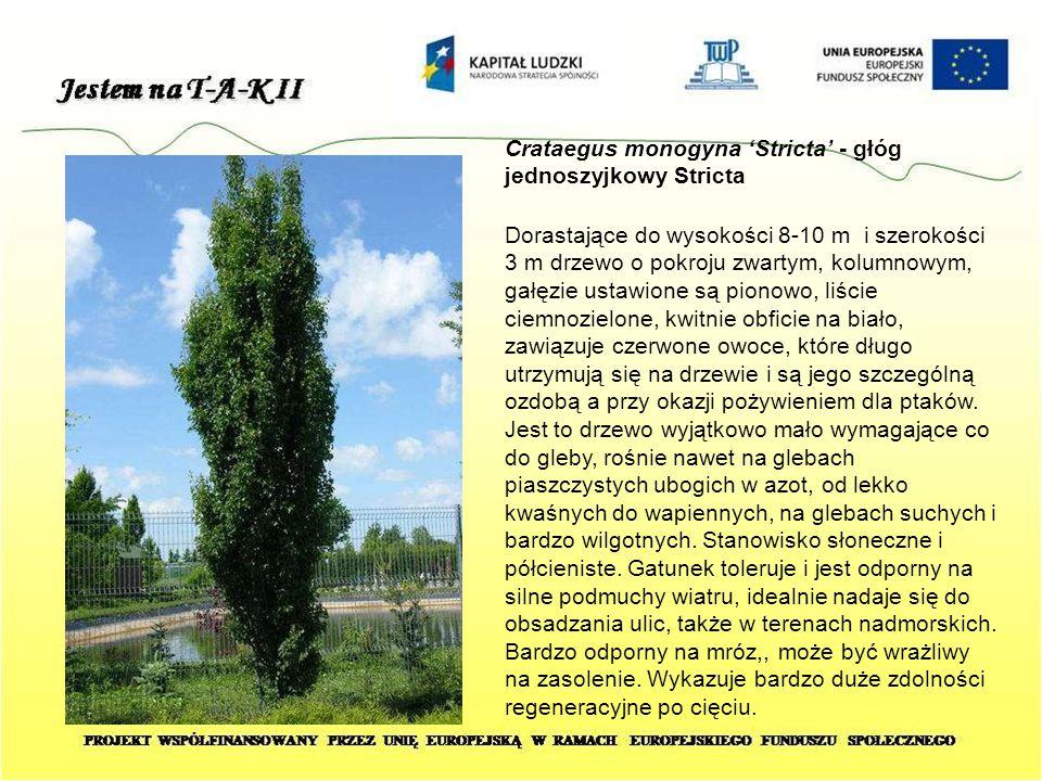 Crataegus monogyna 'Stricta' - głóg jednoszyjkowy Stricta Dorastające do wysokości 8-10 m i szerokości 3 m drzewo o pokroju zwartym, kolumnowym, gałęz