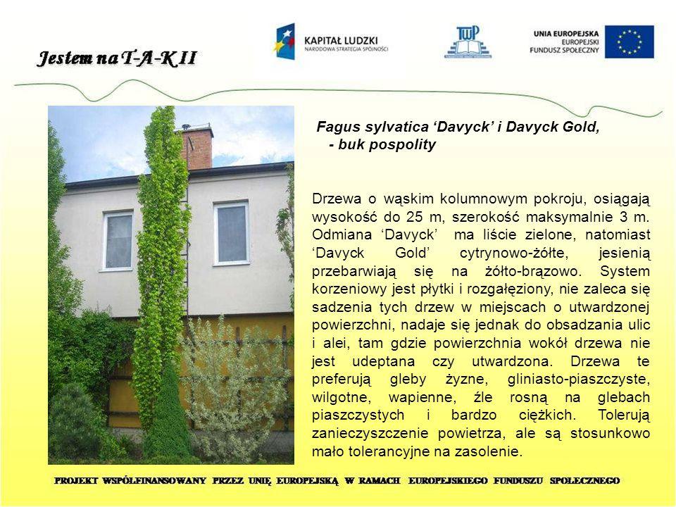 Fagus sylvatica 'Davyck' i Davyck Gold, - buk pospolity Drzewa o wąskim kolumnowym pokroju, osiągają wysokość do 25 m, szerokość maksymalnie 3 m. Odmi