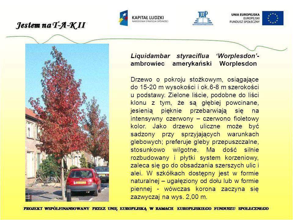 Liquidambar styraciflua 'Worplesdon'- ambrowiec amerykański Worplesdon Drzewo o pokroju stożkowym, osiągające do 15-20 m wysokości i ok.6-8 m szerokoś