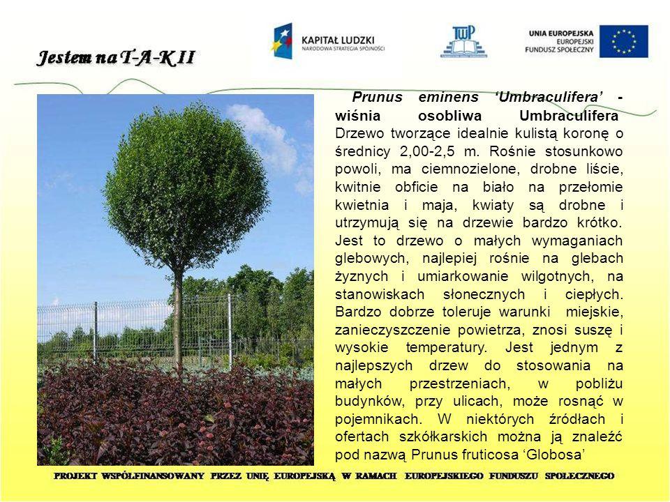 Prunus eminens 'Umbraculifera' - wiśnia osobliwa Umbraculifera Drzewo tworzące idealnie kulistą koronę o średnicy 2,00-2,5 m. Rośnie stosunkowo powoli