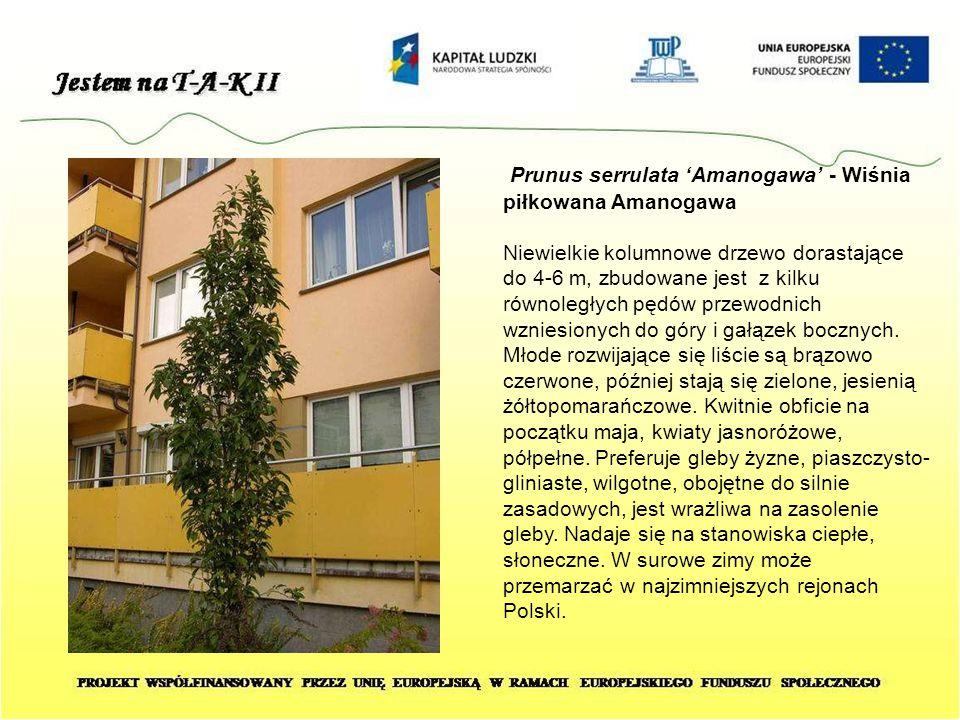 Prunus serrulata 'Amanogawa' - Wiśnia piłkowana Amanogawa Niewielkie kolumnowe drzewo dorastające do 4-6 m, zbudowane jest z kilku równoległych pędów