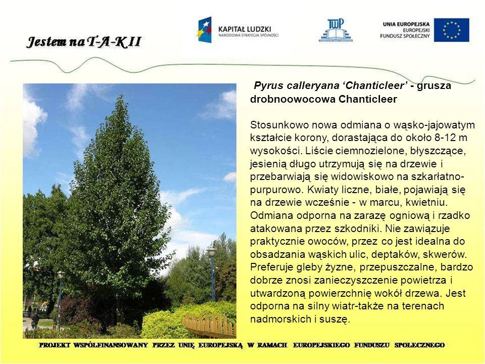 Pyrus calleryana 'Chanticleer' - grusza drobnoowocowa Chanticleer Stosunkowo nowa odmiana o wąsko-jajowatym kształcie korony, dorastająca do około 8-1