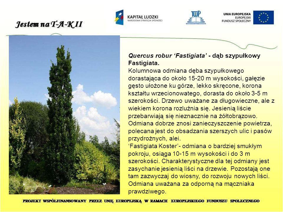 Quercus robur 'Fastigiata' - dąb szypułkowy Fastigiata. Kolumnowa odmiana dęba szypułkowego dorastająca do około 15-20 m wysokości, gałęzie gęsto ułoż
