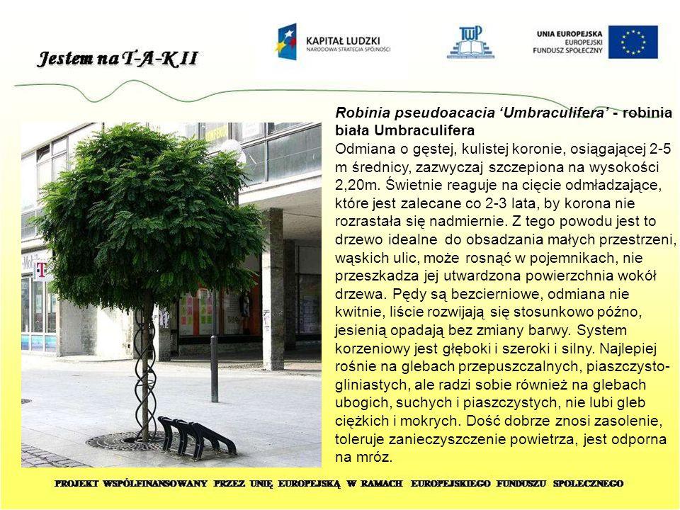 Robinia pseudoacacia 'Umbraculifera' - robinia biała Umbraculifera Odmiana o gęstej, kulistej koronie, osiągającej 2-5 m średnicy, zazwyczaj szczepion