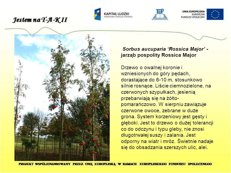 Sorbus aucuparia 'Rossica Major' - jarząb pospolity Rossica Major Drzewo o owalnej koronie i wzniesionych do góry pędach, dorastające do 6-10 m, stosu