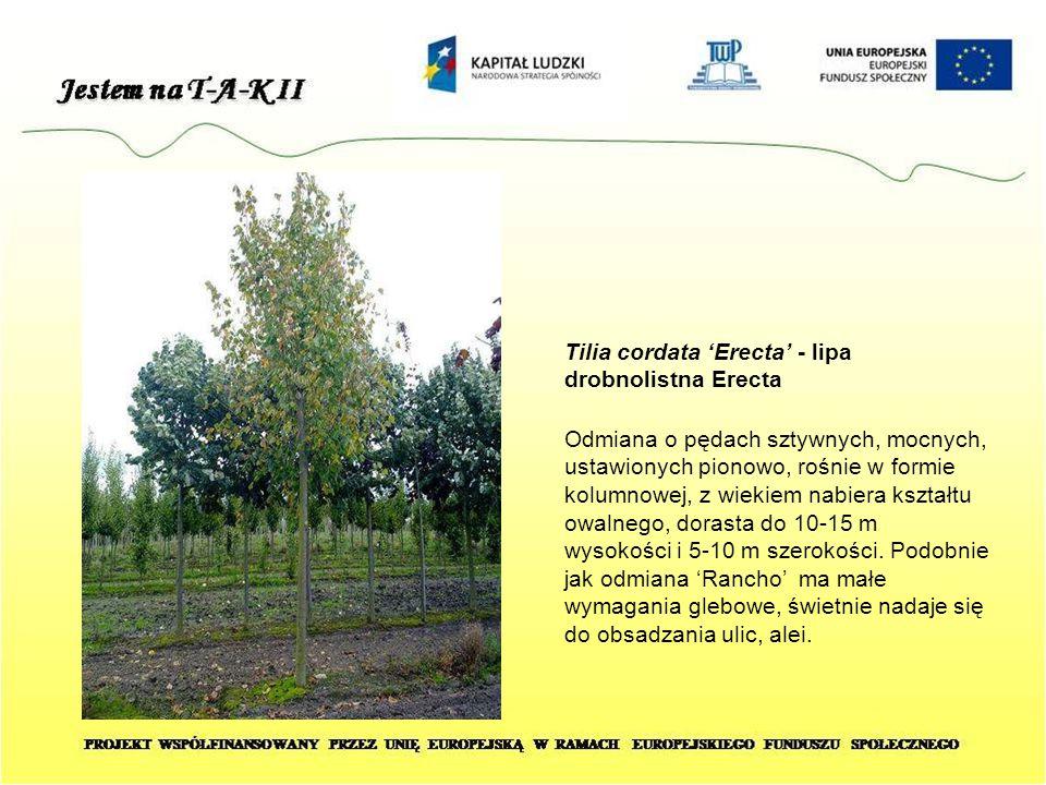 Tilia cordata 'Erecta' - lipa drobnolistna Erecta Odmiana o pędach sztywnych, mocnych, ustawionych pionowo, rośnie w formie kolumnowej, z wiekiem nabi