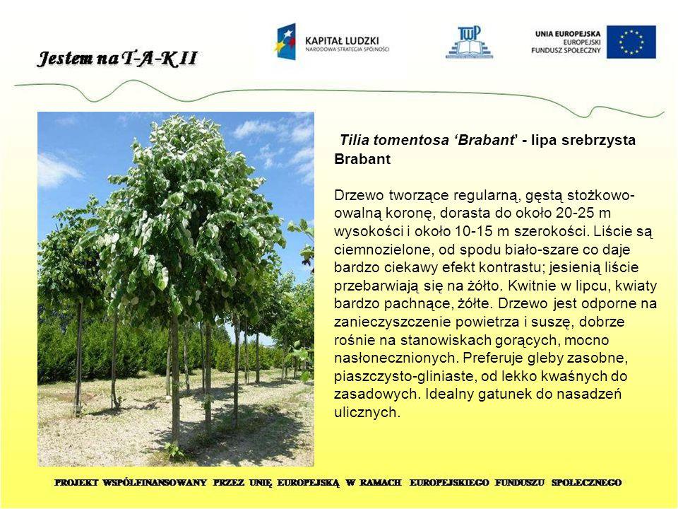 Tilia tomentosa 'Brabant' - lipa srebrzysta Brabant Drzewo tworzące regularną, gęstą stożkowo- owalną koronę, dorasta do około 20-25 m wysokości i oko