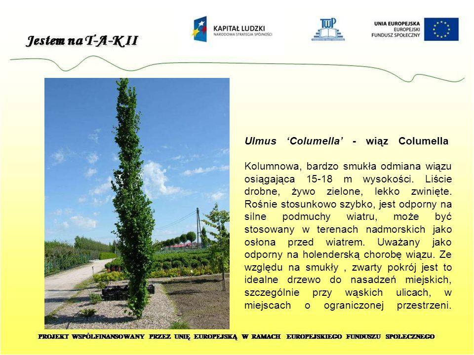 Ulmus 'Columella' - wiąz Columella Kolumnowa, bardzo smukła odmiana wiązu osiągająca 15-18 m wysokości. Liście drobne, żywo zielone, lekko zwinięte. R