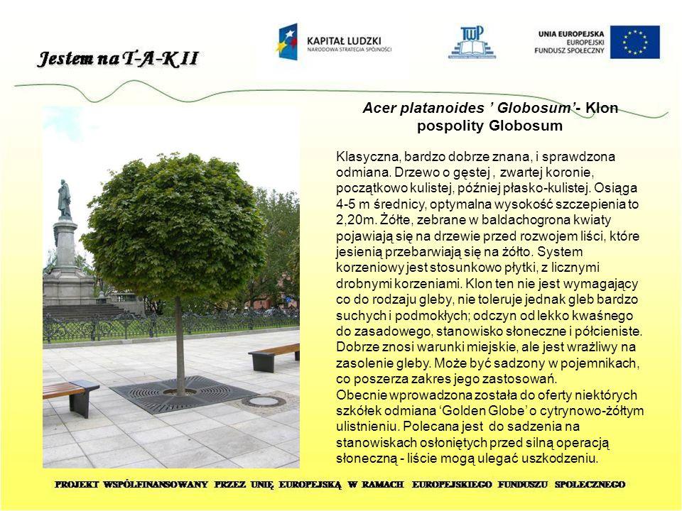 Acer platanoides ' Globosum'- Klon pospolity Globosum Klasyczna, bardzo dobrze znana, i sprawdzona odmiana. Drzewo o gęstej, zwartej koronie, początko