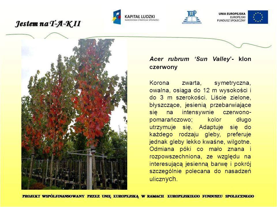 Acer rubrum 'Sun Valley'- klon czerwony Korona zwarta, symetryczna, owalna, osiąga do 12 m wysokości i do 3 m szerokości. Liście zielone, błyszczące,
