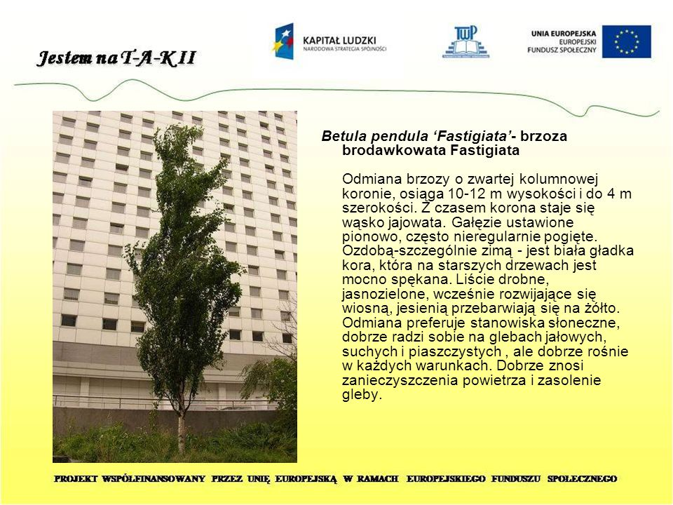 Betula pendula 'Fastigiata'- brzoza brodawkowata Fastigiata Odmiana brzozy o zwartej kolumnowej koronie, osiąga 10-12 m wysokości i do 4 m szerokości.