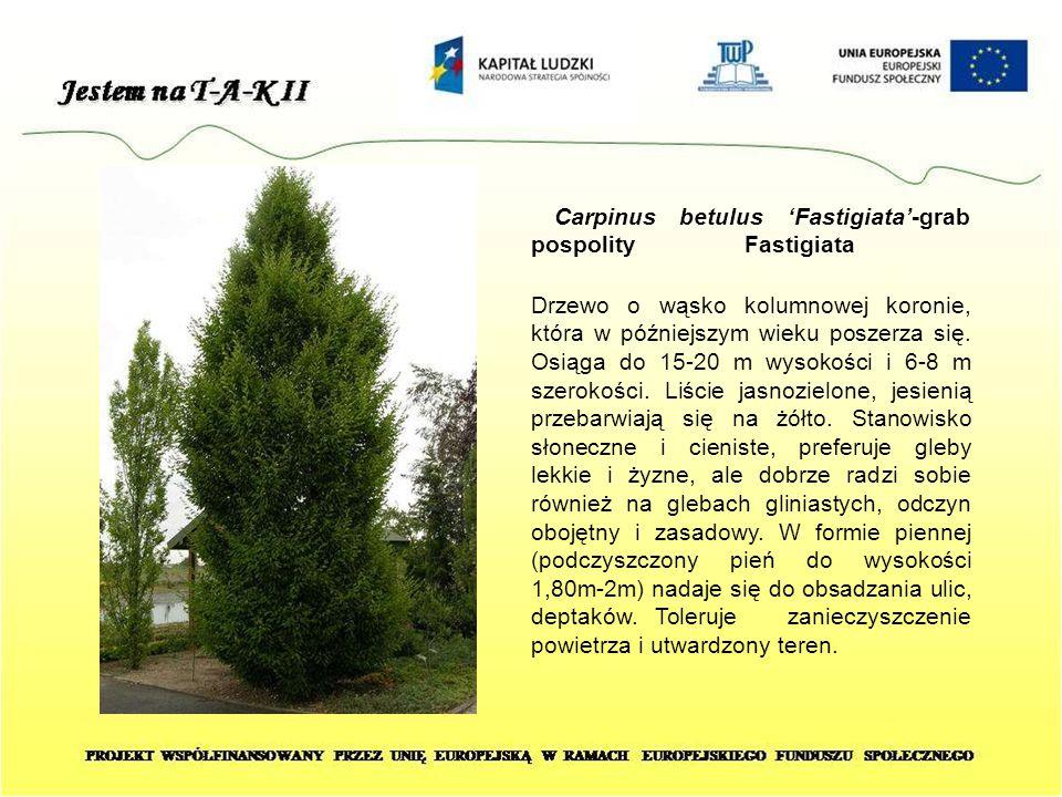 Carpinus betulus 'Fastigiata'-grab pospolity Fastigiata Drzewo o wąsko kolumnowej koronie, która w późniejszym wieku poszerza się. Osiąga do 15-20 m w