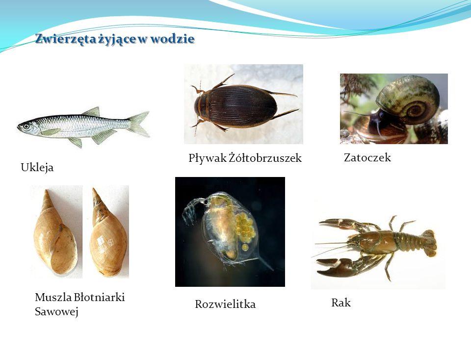 Ukleja Pływak Żółtobrzuszek Zatoczek Muszla Błotniarki Sawowej Rozwielitka Rak Zwierzęta żyjące w wodzie