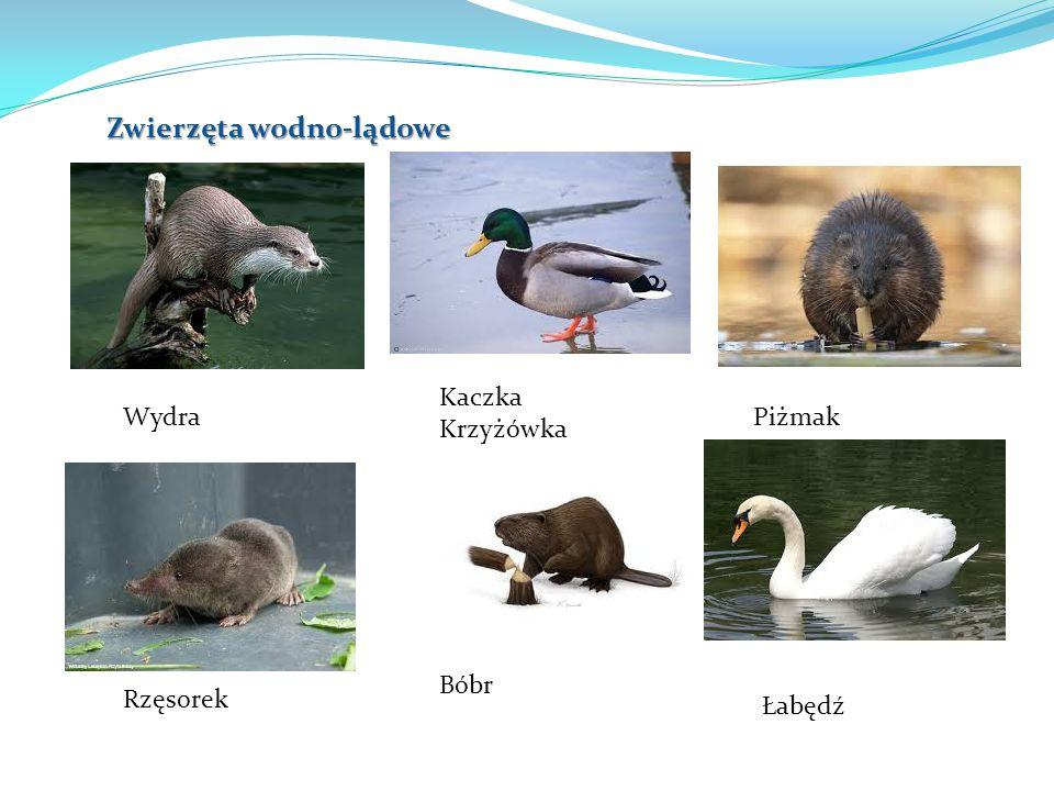Zwierzęta wodno-lądowe Wydra Kaczka Krzyżówka Piżmak Rzęsorek Bóbr Łabędź