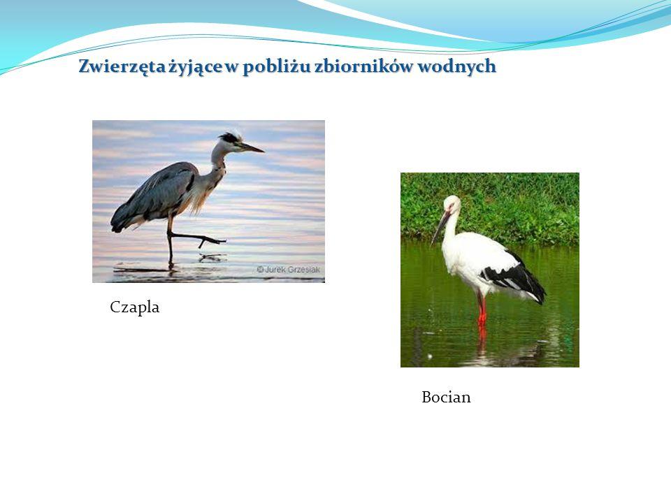 Zwierzęta żyjące w pobliżu zbiorników wodnych Czapla Bocian
