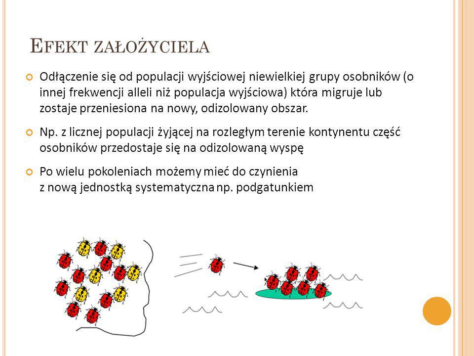 E FEKT ZAŁOŻYCIELA Odłączenie się od populacji wyjściowej niewielkiej grupy osobników (o innej frekwencji alleli niż populacja wyjściowa) która migruj