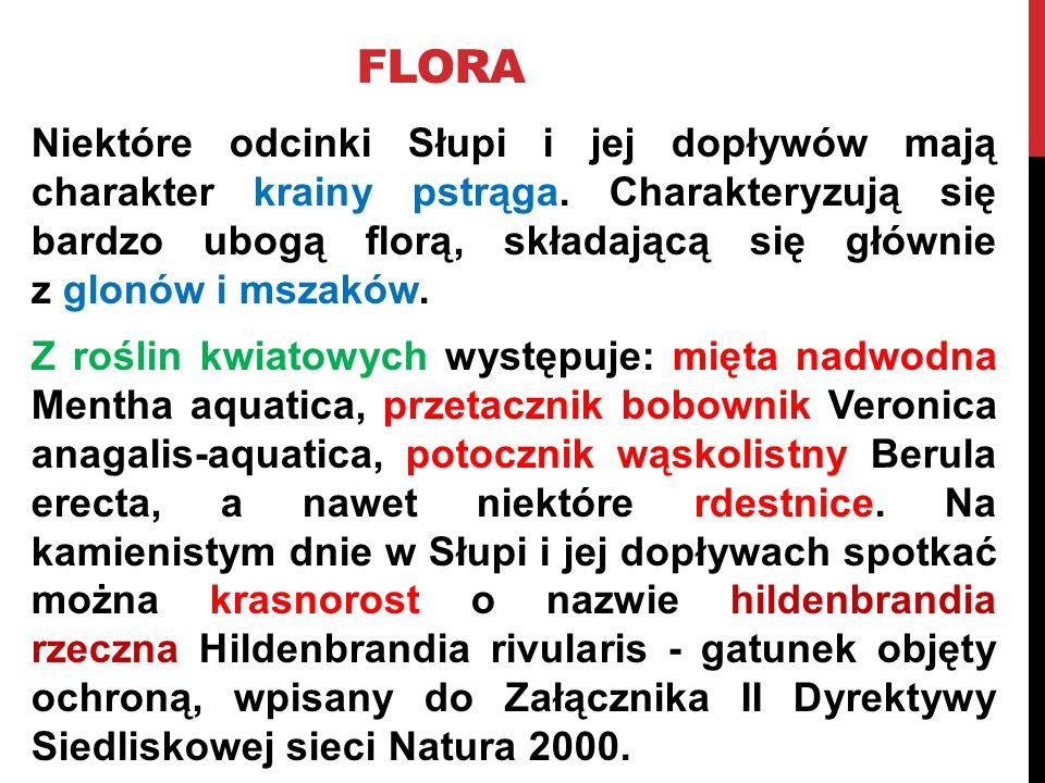 FLORA Niektóre odcinki Słupi i jej dopływów mają charakter krainy pstrąga. Charakteryzują się bardzo ubogą florą, składającą się głównie z glonów i ms