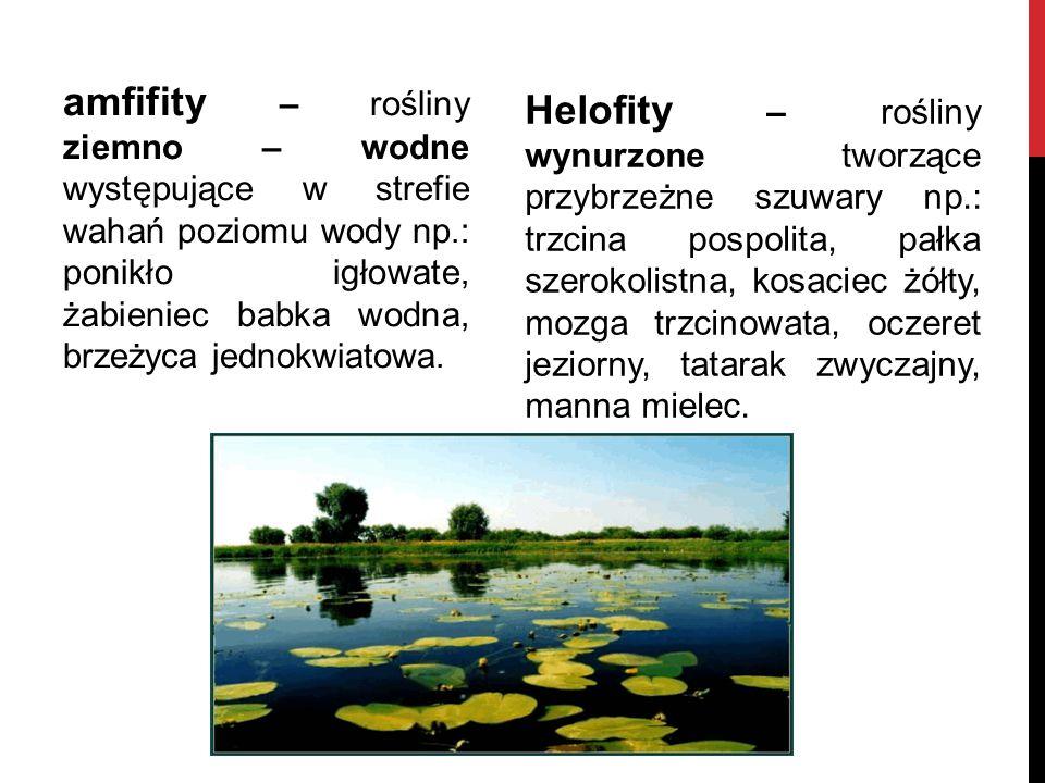 Helofity – rośliny wynurzone tworzące przybrzeżne szuwary np.: trzcina pospolita, pałka szerokolistna, kosaciec żółty, mozga trzcinowata, oczeret jezi