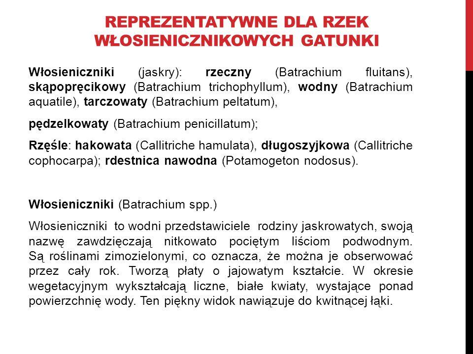 REPREZENTATYWNE DLA RZEK WŁOSIENICZNIKOWYCH GATUNKI Włosieniczniki (jaskry): rzeczny (Batrachium fluitans), skąpopręcikowy (Batrachium trichophyllum),