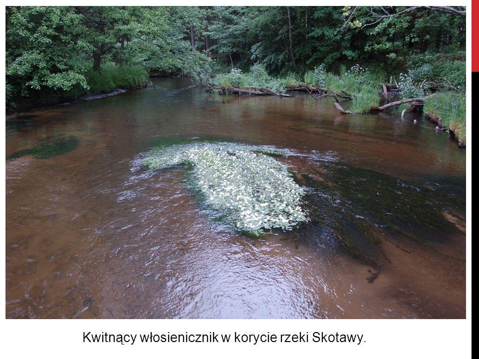 Kwitnący włosienicznik w korycie rzeki Skotawy.