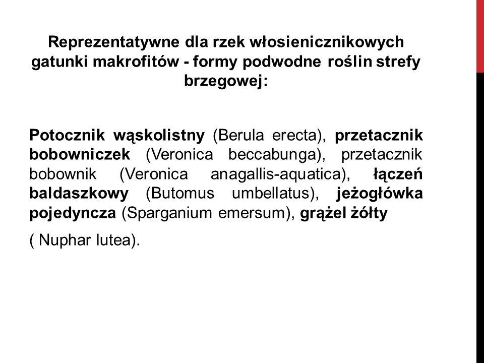 Reprezentatywne dla rzek włosienicznikowych gatunki makrofitów - formy podwodne roślin strefy brzegowej: Potocznik wąskolistny (Berula erecta), przeta