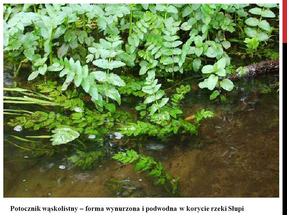 Potocznik wąskolistny – forma wynurzona i podwodna w korycie rzeki Słupi.