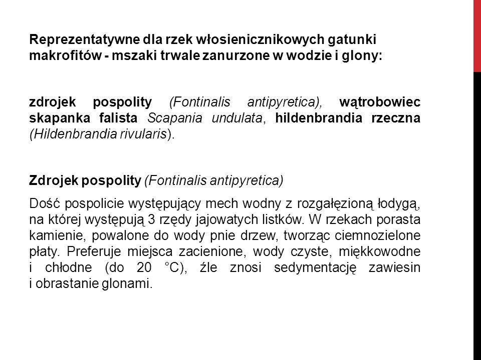 Reprezentatywne dla rzek włosienicznikowych gatunki makrofitów - mszaki trwale zanurzone w wodzie i glony: zdrojek pospolity (Fontinalis antipyretica)