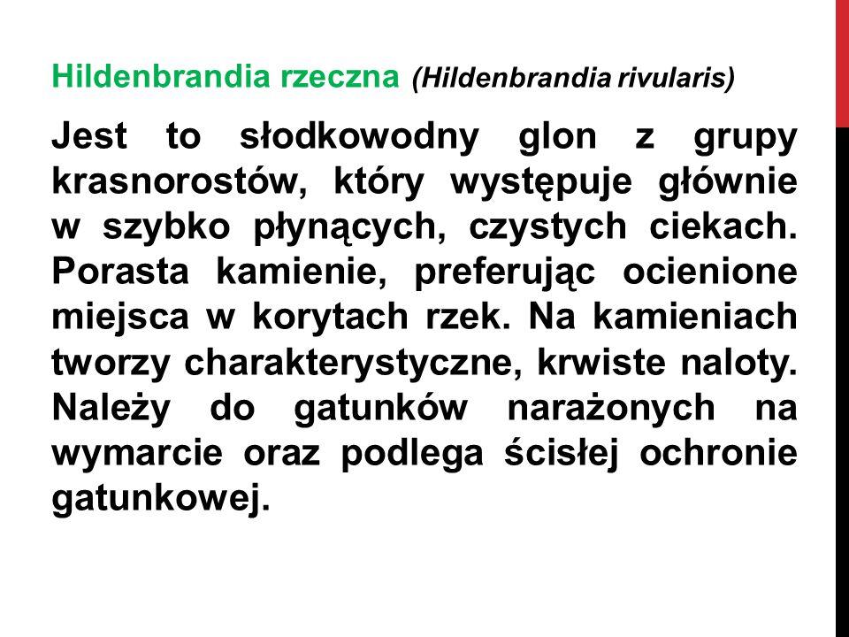 Hildenbrandia rzeczna (Hildenbrandia rivularis) Jest to słodkowodny glon z grupy krasnorostów, który występuje głównie w szybko płynących, czystych ci