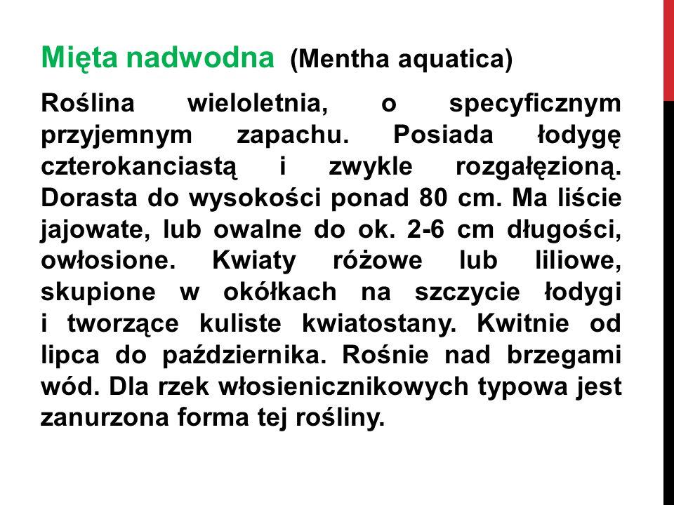 Mięta nadwodna (Mentha aquatica) Roślina wieloletnia, o specyficznym przyjemnym zapachu. Posiada łodygę czterokanciastą i zwykle rozgałęzioną. Dorasta