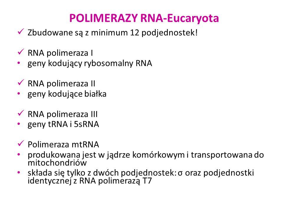 POLIMERAZY RNA-Eucaryota Zbudowane są z minimum 12 podjednostek! RNA polimeraza I geny kodujący rybosomalny RNA RNA polimeraza II geny kodujące białka