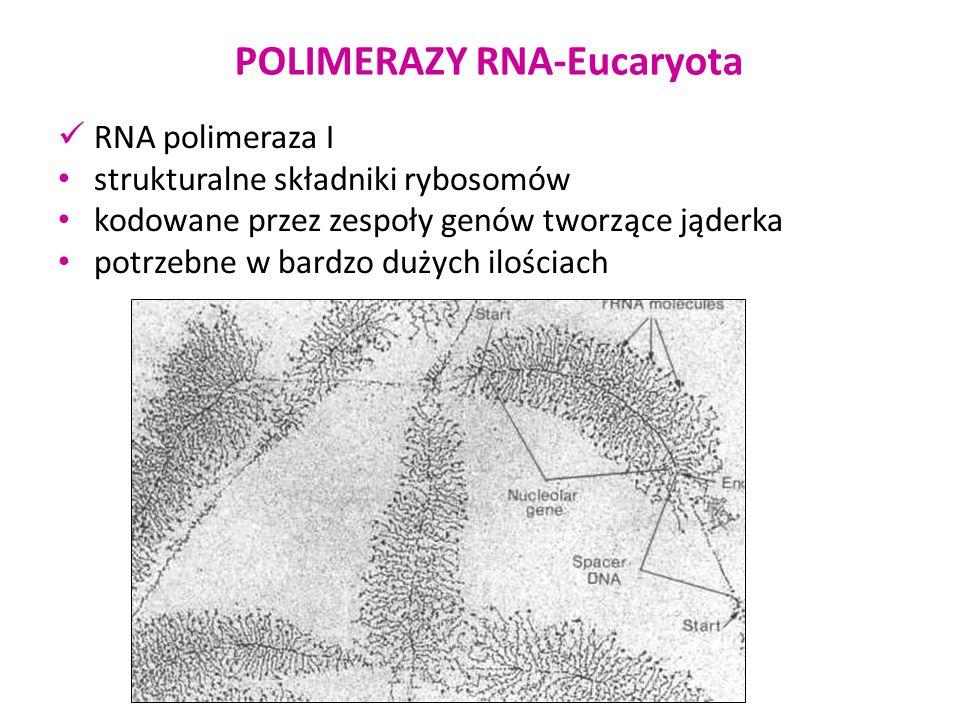 POLIMERAZY RNA-Eucaryota RNA polimeraza I strukturalne składniki rybosomów kodowane przez zespoły genów tworzące jąderka potrzebne w bardzo dużych ilo