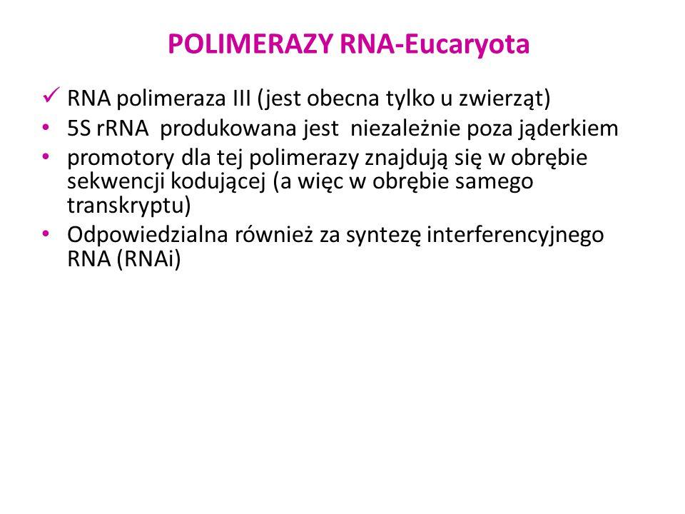 RNA polimeraza III (jest obecna tylko u zwierząt) 5S rRNA produkowana jest niezależnie poza jąderkiem promotory dla tej polimerazy znajdują się w obrę
