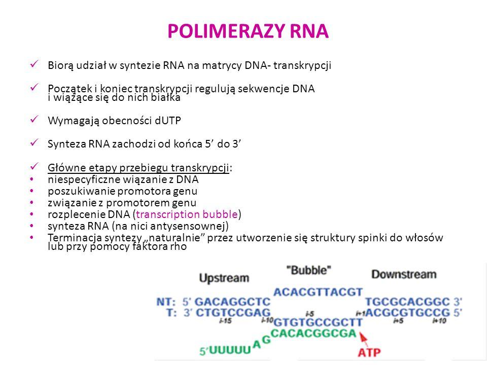 POLIMERAZY RNA Biorą udział w syntezie RNA na matrycy DNA- transkrypcji Początek i koniec transkrypcji regulują sekwencje DNA i wiążące się do nich bi