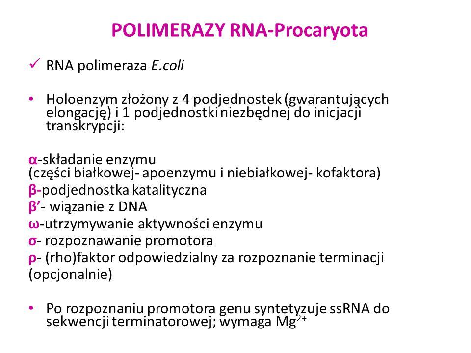 POLIMERAZY RNA-Procaryota RNA polimeraza E.coli Holoenzym złożony z 4 podjednostek (gwarantujących elongację) i 1 podjednostki niezbędnej do inicjacji