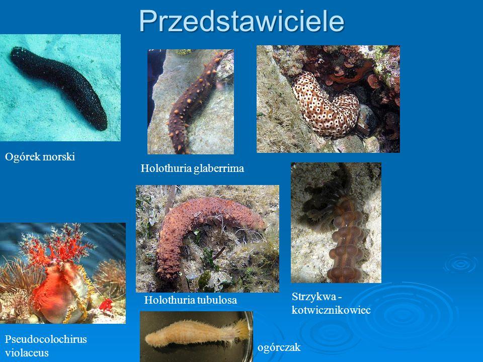 Przedstawiciele Ogórek morski Pseudocolochirus violaceus Holothuria tubulosa Strzykwa - kotwicznikowiec ogórczak Holothuria glaberrima