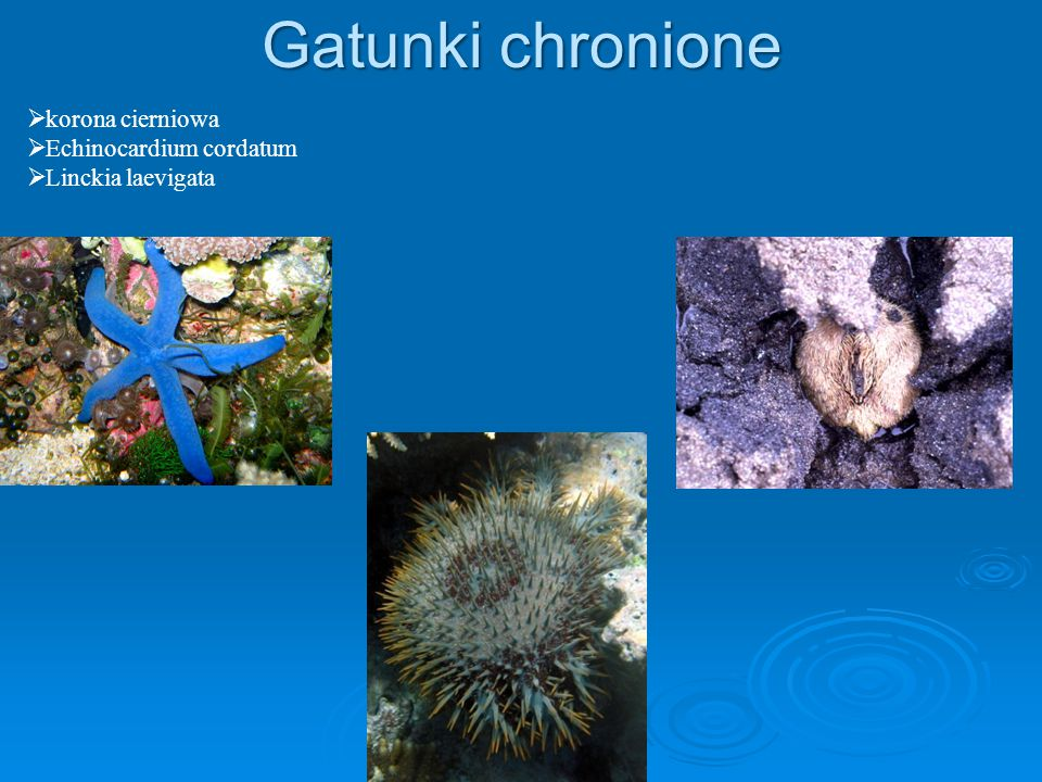 Gatunki chronione  korona cierniowa  Echinocardium cordatum  Linckia laevigata