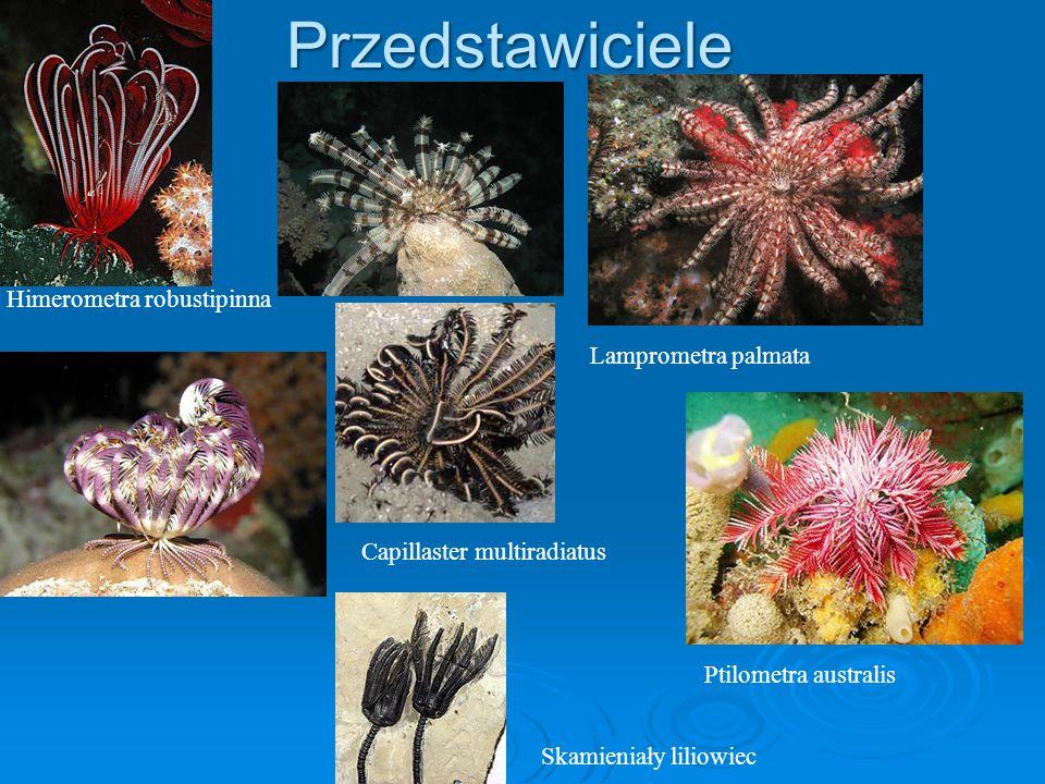 Przedstawiciele Ptilometra australis Skamieniały liliowiec Capillaster multiradiatus Lamprometra palmata Himerometra robustipinna
