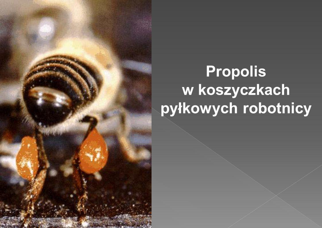 Propolis w koszyczkach pyłkowych robotnicy