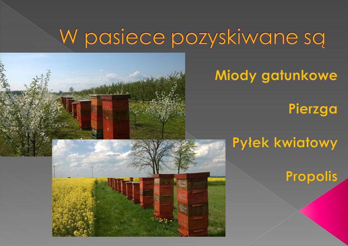 Powstawanie miodu W celu wyprodukowania 1 kg miodu pszczoły muszą zebrać nektar z około: 1,3 miliona kwiatów rzepaku 800 tysięcy kwiatów akacji 8 milionów kwiatów gryki.