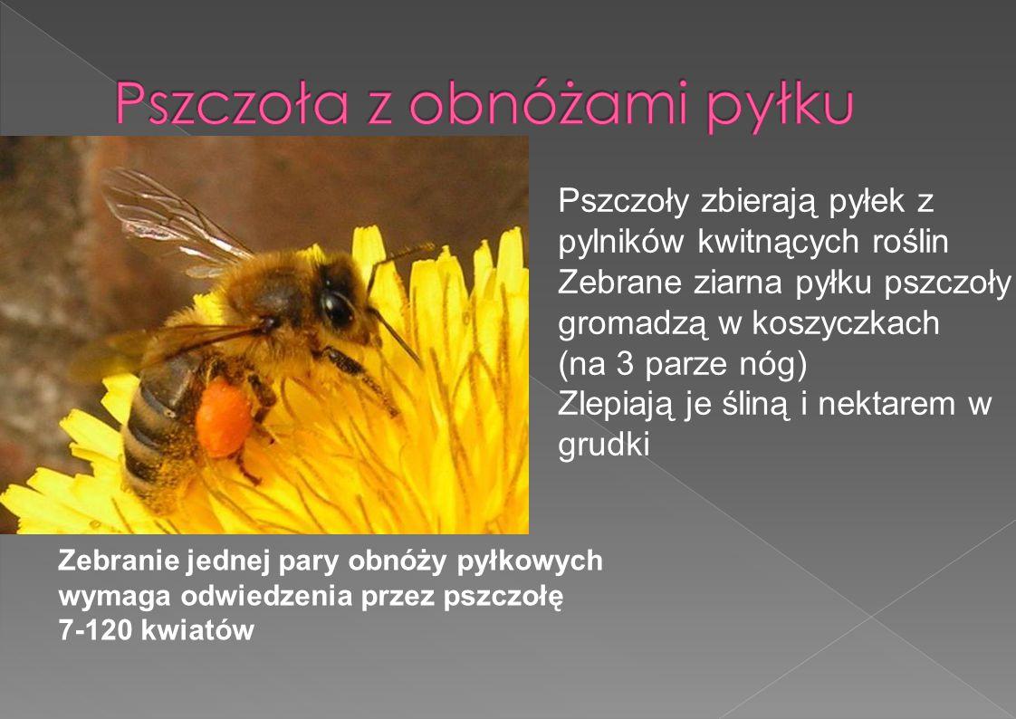 Zebranie jednej pary obnóży pyłkowych wymaga odwiedzenia przez pszczołę 7-120 kwiatów Pszczoły zbierają pyłek z pylników kwitnących roślin Zebrane zia
