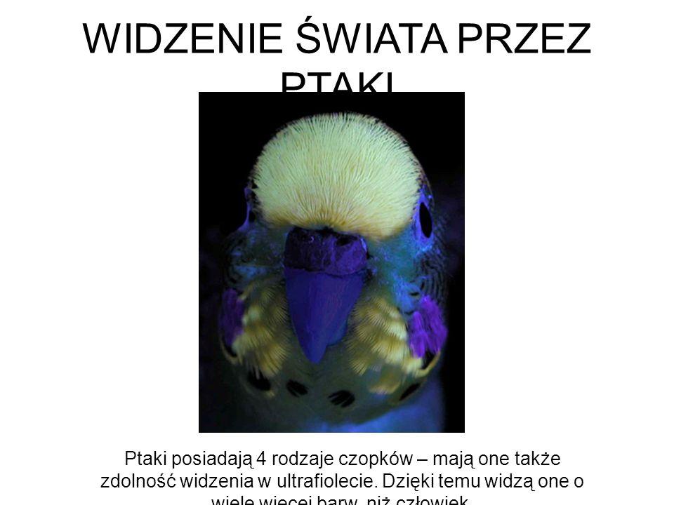 WIDZENIE ŚWIATA PRZEZ PTAKI Ptaki posiadają 4 rodzaje czopków – mają one także zdolność widzenia w ultrafiolecie. Dzięki temu widzą one o wiele więcej