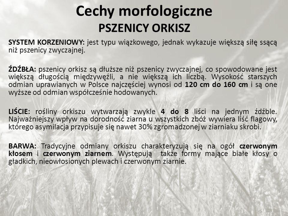 Cechy morfologiczne PSZENICY ORKISZ SYSTEM KORZENIOWY: jest typu wiązkowego, jednak wykazuje większą siłę ssącą niż pszenicy zwyczajnej. ŹDŹBŁA: pszen