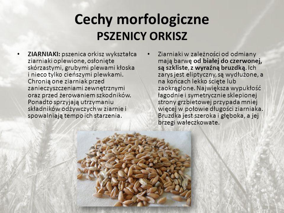 Krótka agrotechnika alternatywnych roślin zastępujących tradycyjne rośliny uprawne Orkisz pszenny (Triticum spelta) był gatunkiem zboża popularnym w średniowieczu, a w czasach współczesnych spotykany jedynie w górzystych okolicach Szwajcarii, Hiszpanii, Niemiec.