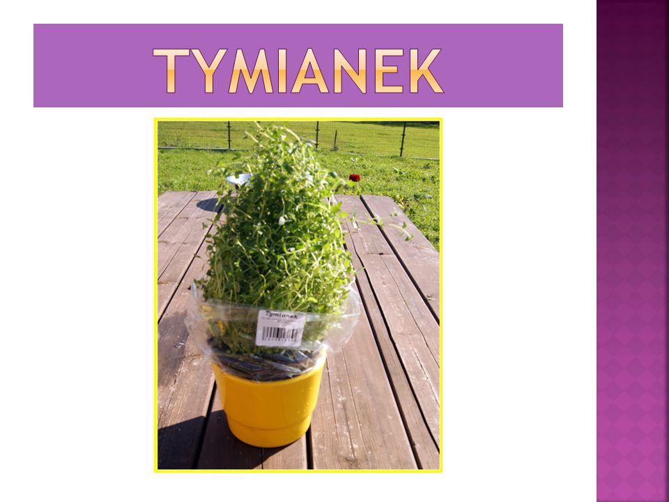 Jest to wiecznie zielone zioło z bardzo aromatycznymi liśćmi, które potrafi osiągnąć wysokość do 2 m.