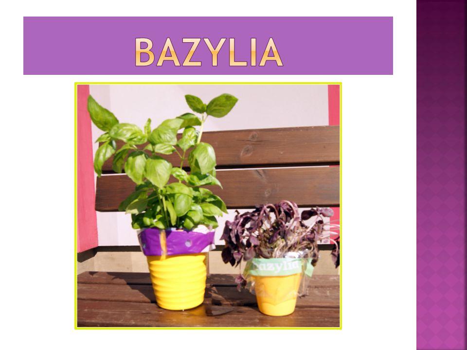 W kuchni poprawia smak, a jako zioło leczy.Basilicum znaczy z łaciny królewski.