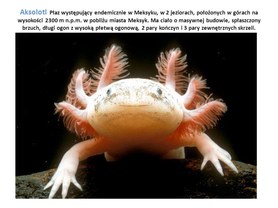 Aksolotl Płaz występujący endemicznie w Meksyku, w 2 jeziorach, położonych w górach na wysokości 2300 m n.p.m. w pobliżu miasta Meksyk. Ma ciało o mas