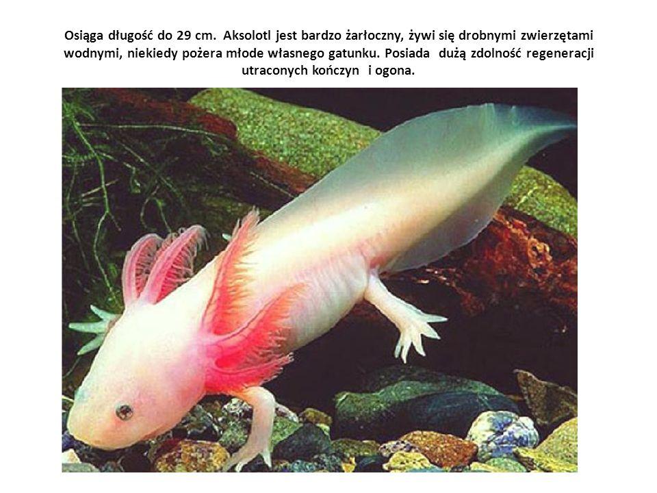 Osiąga długość do 29 cm. Aksolotl jest bardzo żarłoczny, żywi się drobnymi zwierzętami wodnymi, niekiedy pożera młode własnego gatunku. Posiada dużą z